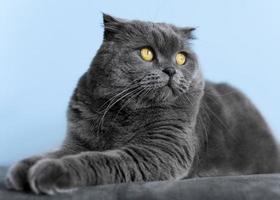 schattig Brits korthaar kat met zwart-wit muur achter haar foto