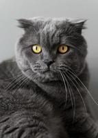 Brits korthaar kat met zwart-wit muur achter haar foto
