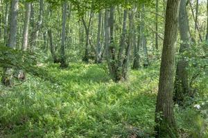 Duitse heide boslandschap met varengras en loofbomen in de zomer foto