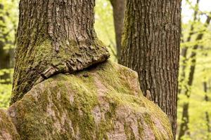 grote zandstenen rots in het bos die is uitgegroeid tot een boom foto