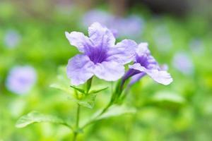 ruellia tuberosa bloemachtergrond foto