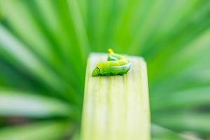 groene worm op het blad foto