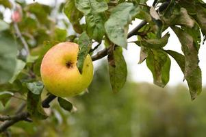 appel fruit boomtak oogsten groei foto