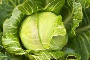 witte kool tuin groeiende lwafy groente eerlijkheid biologisch foto