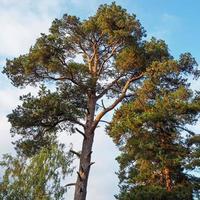 hoge pijnbomen die herfstzonlicht opvangen foto