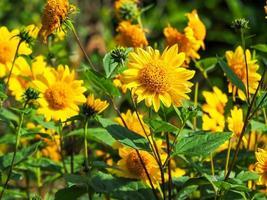 helianthus zonnebloemen in zonlicht in een tuin foto