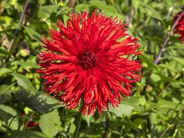 grote met stroken rode dahlia bloeien in een tuin foto