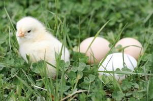 kuiken kippeneieren boerderij gras pasen gelukkig natuur foto