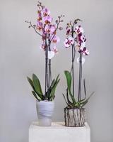 wit roze phalaenopsis mot orchidee bloemen in de pot foto