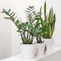 zanzibar gem zamioculcas met sansevieria plant op witte achtergrond foto