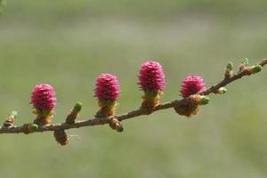 jonge ovulatie kegels van lariksboom in springi foto