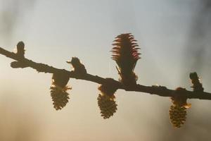 jonge ovulatie en stuifmeelkegels van lariksboom in het voorjaar foto