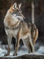 portret van Euraziatische wolf foto