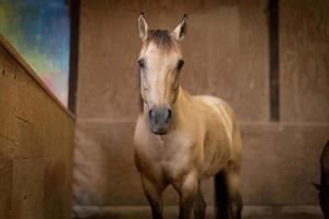 klein bruin paard foto
