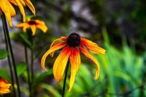 Rudbeckia fulgida aiton bloem foto