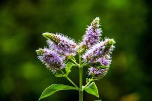 mentha longifolia bloem foto