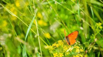 oranje vlinder met geopende vleugels in gras foto