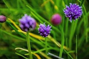 paars alium in asiago foto