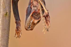 karkas van dieren voor het voederen van wilde roofvogels foto