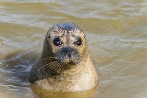 zegel in het water met een droevige blik foto