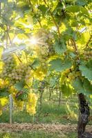 rijpe gele druiven hangen in het directe tegenlicht van de zon op de struik foto