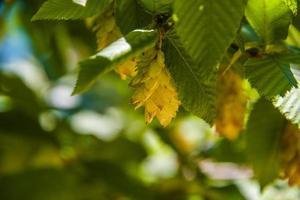 haagbeuk in de zomer met groene bladeren foto