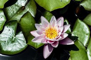 roze waterlelie drijft zacht foto