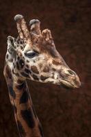 portret van giraffe foto
