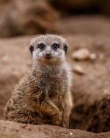 portret van meerkat foto