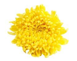 gele kleurchrysant foto