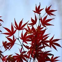 rode boombladeren in de herfstseizoen foto