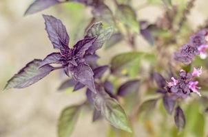 ypung paarse basilicumbladeren en bloemen in de lente foto