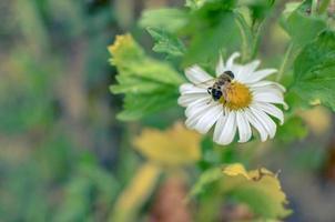 witte aster bloemen kamille of madeliefje op bloembed met insect foto