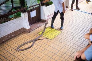demonstratie slangenbehandeling, bangkok, thailand foto