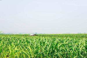 maïsplant in het maïsveld foto