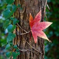 rode esdoornbladeren in de herfst foto