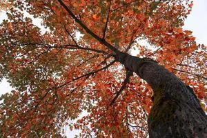 boom met rode en bruine bladeren in de herfst foto