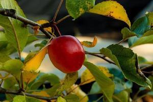 verse rauwe rode appel op de tak in de tuin op zonnige dag foto