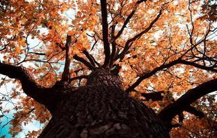 herfst gekleurde eiken boomtop in herfst seizoen foto