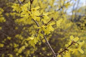 een tak van gele forsythia in het vroege voorjaar foto
