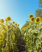 rijen van zonnebloemen landbouwgebied stock foto