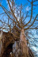 een dode boom boom in de buurt van de ruïnes van het kasteel van saint hilarion kyrenia cyprus foto
