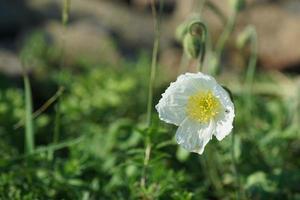 witte klaprozen bloeien foto