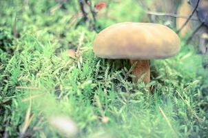 kleine bruine boletus groeit in herfstgroen mos foto