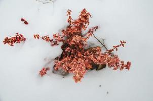 Euonymus fortunei rood gekleurd in de sneeuw foto