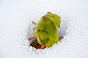 afbeelding van vroege spruit die tevoorschijn komt uit smeltende sneeuwbedekking foto