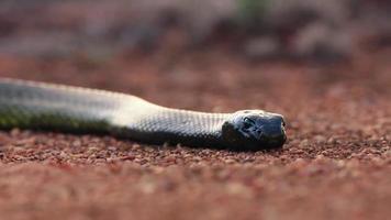 een Afrikaanse zwarte mumba-slang die op woestijnvloer ligt te wachten op zijn prooi foto