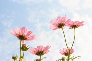 roze kosmos cosmos sulphureus met doorschijnend op bloemblad en bewolkte blauwe hemel foto