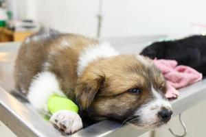 ziekte puppy thai bangkaew hond met katheter aan zijn been op operatietafel in veterinaire kliniek foto