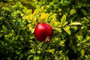 granaatappel op de boom twee foto